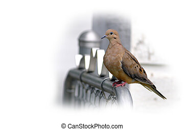 turtle dove perched on fence  isolated on white background