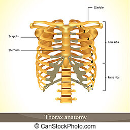 thorax - Thorax anatomy Detailed illustration