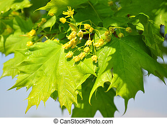 Maple flowers Acer
