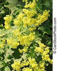 Lady's mantle (Alchemilla)
