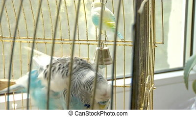 blue parrot - close-up of the blue budgerigar melopsittacus...