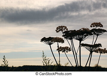 Hogweed in the Background of the Cloudy Sky