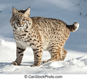 Bobcat - bobcat kitten in snow
