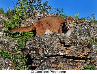 Cougar on ledge