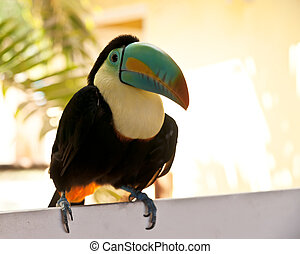 Toucan portrait - Toucan from Panama