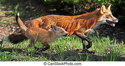Red fox and kit running