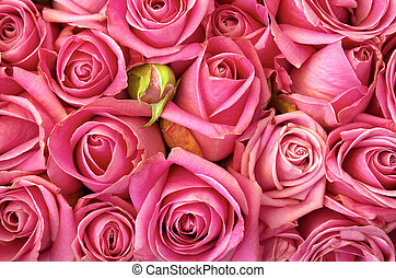 bed of roses - Background of a bed of beautiful pink roses