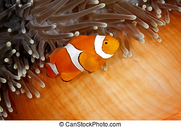 Clownfish - A clown anemonefish swimming in its sea anemone....