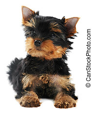 One Yorkshire Terrier (of three month) puppy dog