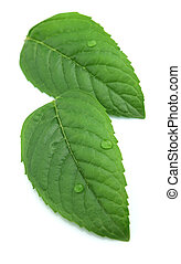 Fresh leaves of mint with drop