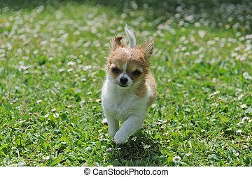 running puppy chihuahua