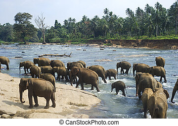 Elephants bathing - Elephants from the Pinnewala Elephant...