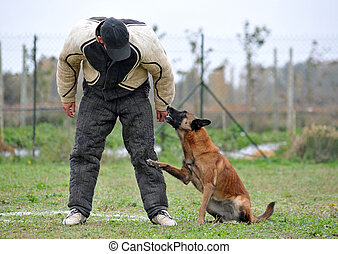 malinois and man in attack - belgian sheepdog malinoisl in a...
