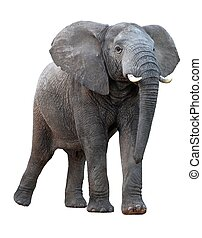 African Elephant - Isolated - African elephant with ears...