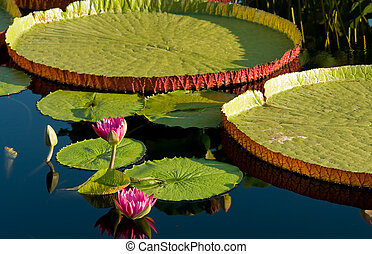 waterlily - Water lily and water platter