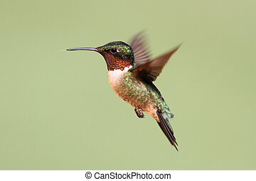 Ruby-throated Hummingbird (archilochus colubris) - Male...