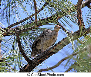Wild Turkey chick in pine tree 2 - Wild Turkey (Meleagris...
