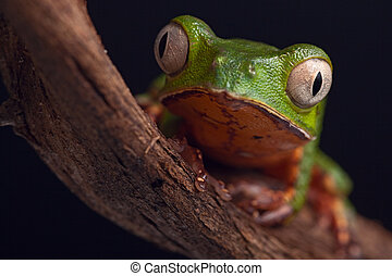 frog with big eyes on branch of a tropical tree in amazon...