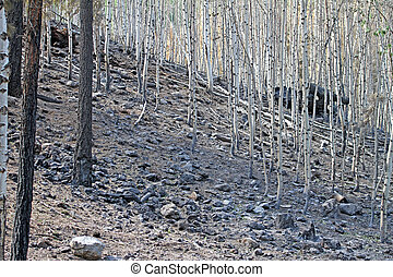 2011 Wallow Fire Damage at Greer - Burned aspen forest near...