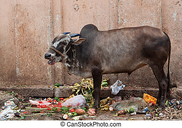 Sacred Cow in India feeding on garbage