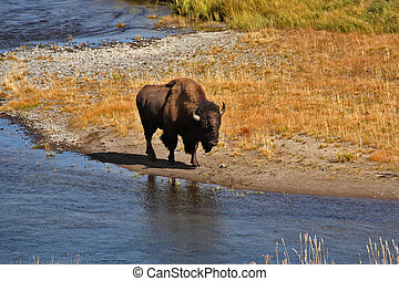 The bison has come on a watering place in Yellowstone...