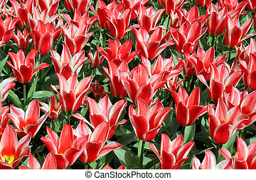 Natural backgrounds: tulips - Red tulips
