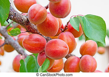 Apricots on tree during the day time