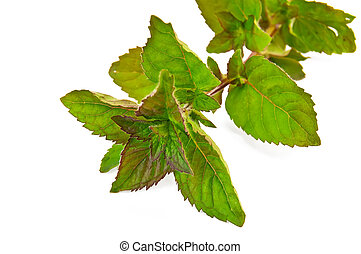 Sprig of green mint - Sprig of mint green isolated on white...