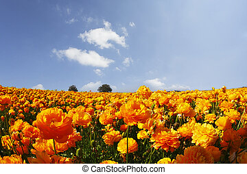 The field of orange buttercups on a sunset