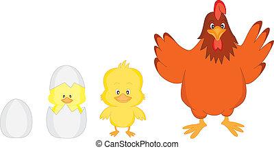 Evolution of egg rooster