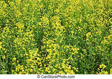 Rapeseed field  - flowers growing on a field of rape