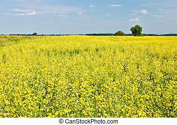 Rapeseed field with the sky