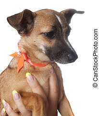 small dog (Russian toy terrier) over white