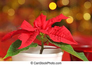 Poinsettia - Symbolic Christmas plant - poinsettia Christmas...