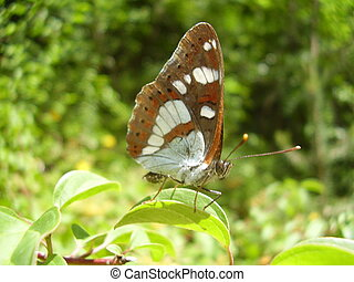 Southern White Admiral Butterfly - Close up of a Southern...