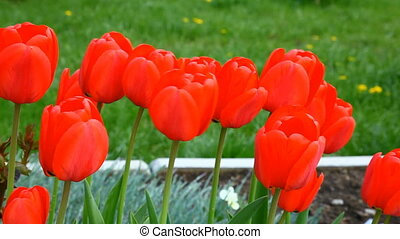 Tulips in wind - Red tulips in wind