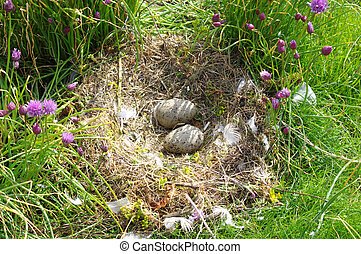 Nest with eggs of a seagull under a bush