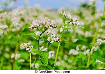 buckwheat 09