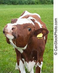 curious frisian calf - curious brown frisian calf in a dutch...