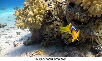 coral reef fish - bannerfish protects the caviar on coral...