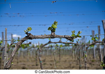 Montalcino vineyard in spring - in the lands of the famous...
