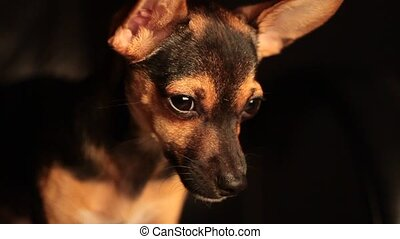 sleeping Miniature Pinscher