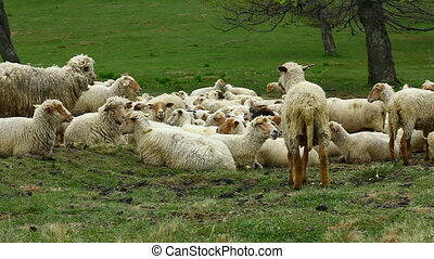 Herd of sheep resting and chewing