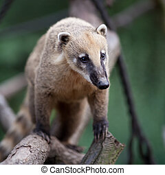 portrait of a very cute White-nosed Coati (Nasua narica) aka...