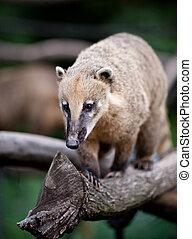 portrait of a very cute White-nosed Coati Nasua narica aka...
