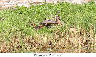duck and her ducklings on shore