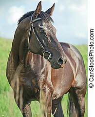 beautiful  black stallion