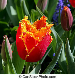 Tulips - Close-up of exotic tulip flower