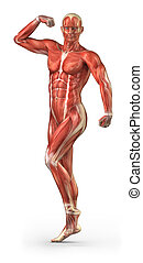 Man muscular system anterior view in body-builder position -...