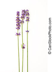 lavender flowers - beautiful lavender flowers isolated on...